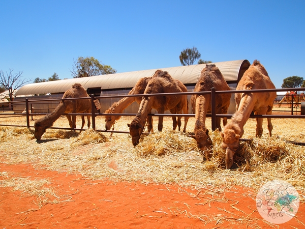 ErikaEvaTohTravels-Uluru-Camel-Ride-Camel-Express-1-Ayers-Rock-Australia-4